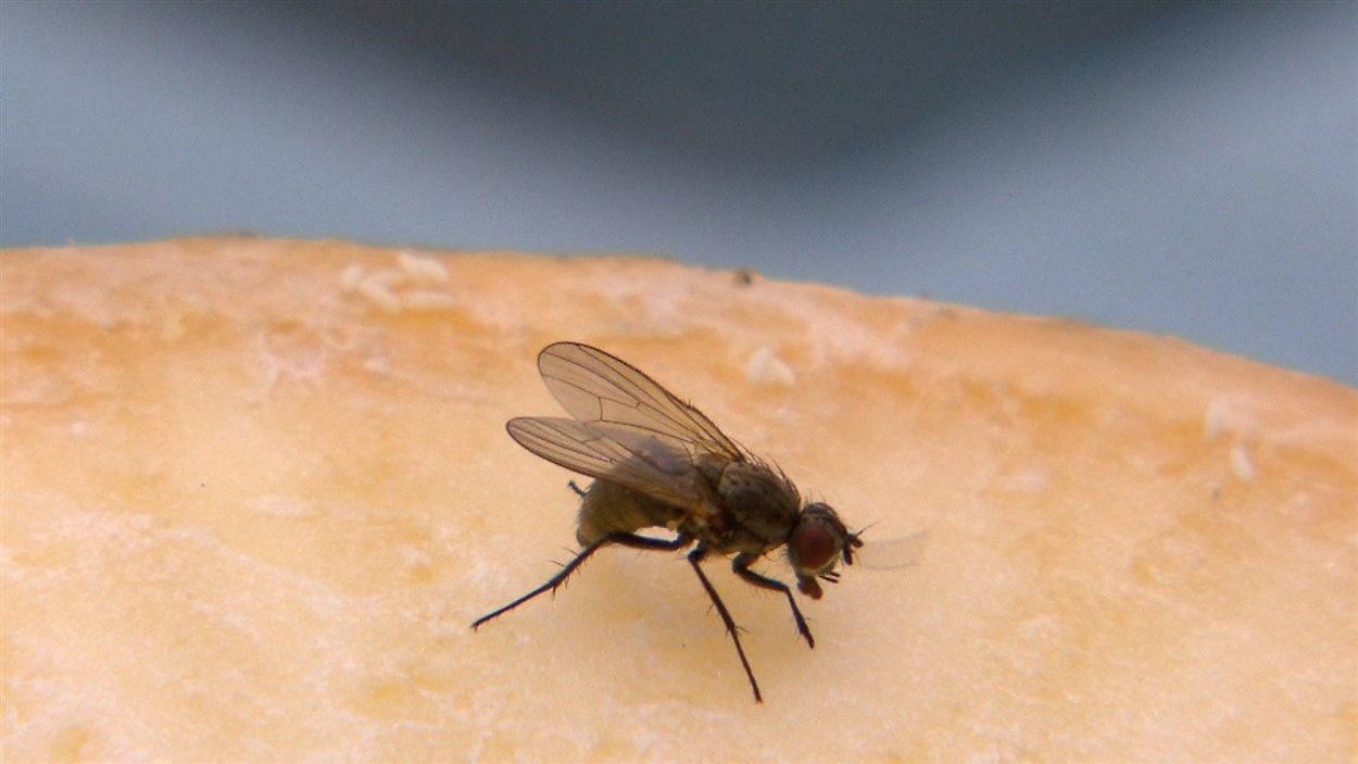 des larves de mouches au secours de la plan te ici radio. Black Bedroom Furniture Sets. Home Design Ideas