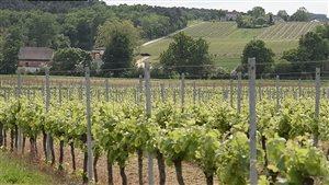 Les vignoble d'Europe doivent adapter suers cultures au climat.