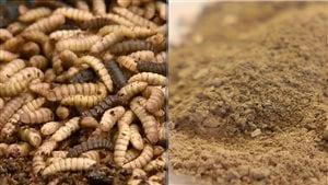 Les larves de mouches peuvent servir à fabriquer de la moulée pour nourrir les animaux.