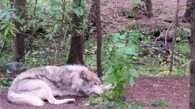 Photo prise au cours de la journée du 5 octobre d'un des meilleurs amis de M. Pageau, le plus vieux loup du refuge, celui que l'homme surnommait «Le Gros»
