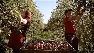 Une femme et un homme cueillent des pommes dans un verger à côté d'un grand bac en bois rempli de pommes.