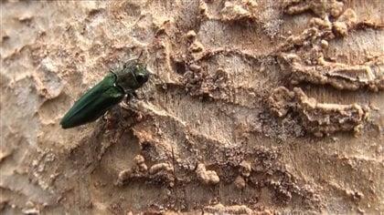 L'agrile du frêne est un insecte exotique qui fait des ravages.