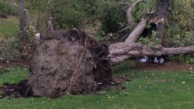 Un arbre déraciné par une tornade