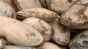 La mye, aussi appellée «coque» ou «clam»