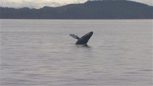 Les baleines à bosse semblent de retour sur la côte ouest.