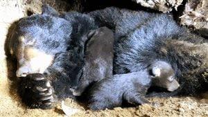 Selon les biologistes du ministère de la Faune du Québec, la population d'ours noirs au Québec serait en progression