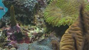 L'acidification des océans à des effets négatifs sur les coraux.