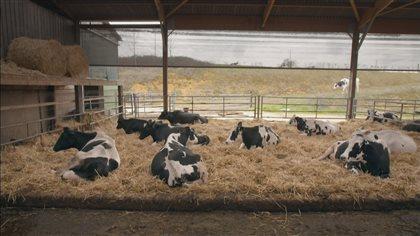 Élevage de vaches en France