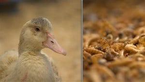 Des canards bio qui se nourissent d'insectes bio!
