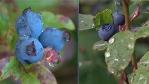 Le Parc national des Monts-Valin regroupe 9 espèces différentes de bleuets.