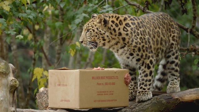 Bébés morses, tortues et léopard - supplément du 13 août 2017