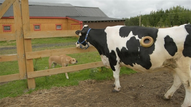 Maggie, la vache hublot