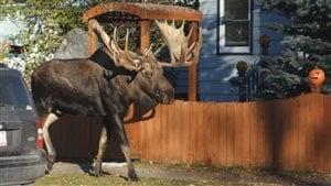 Les orignaux se promènent en toute quiétude dans la ville d'Anchorage en Alaska.