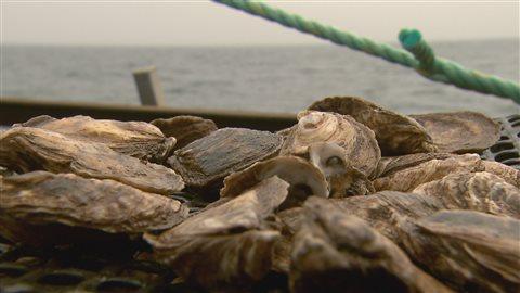 Des huîtres élevées au large des îles de la Madeleine.