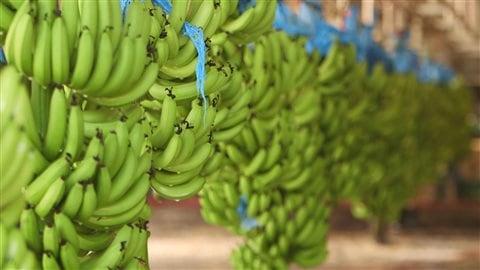 La cavendish est la variété de bananes que l'on trouve dans les supermarchés.