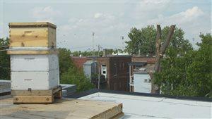 Les ruches d'abeilles domestiques sont de plus en plus nombreuses en ville.