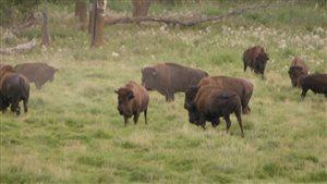 Le troupeau de bisons des plaines du Parc de Prince Albert est en décroissance depuis dix ans.