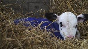Les petits veaux bénificiraient d'un milieu de vie plus sain lorsqu'ils sont au froid.