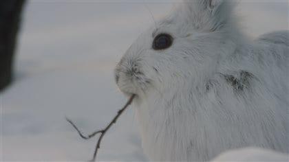 Le lièvre d'Amérique avec son pelage blanc se camouffle presque parfaitement dans la neige.