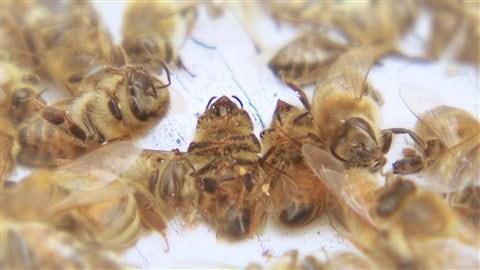 Le taux de mortalité chez les abeilles est anormalement élevé.