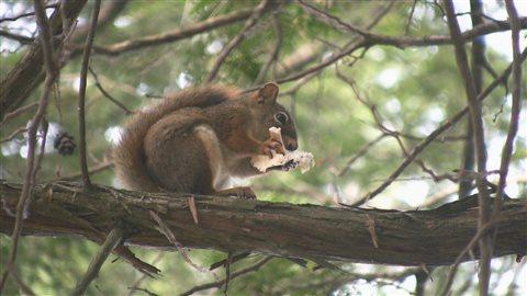 Un écureuil roux assis sur une branche mange un champignon.